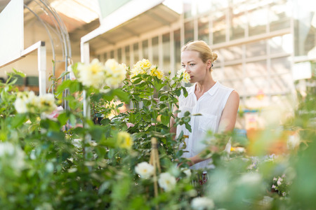 Beautiful female customer holding and smelling blooming yellow potted roses in retailers greenhouse.