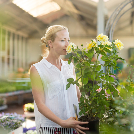 Florists woman working with flowers at greenhouse, holding and smelling blooming yellow potted roses.