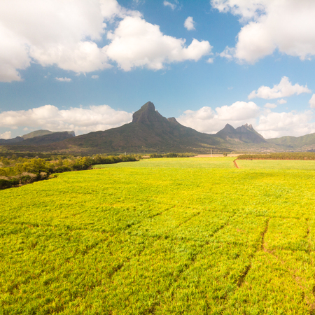 Beautiful bright green landscape of sugarcane fields in front of the black river national park mountains on Mauritius Island. Sugar cane agriculture production.