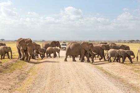 Tourists in safari jeeps watching and taking photos of big hird of wild elephants crossing dirt roadi in Amboseli national park, Kenya. Peak of Mount Kilimanjaro in clouds in background.