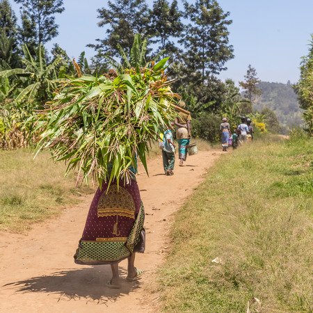 Rural black african woman carries a bundle of harvested sugar cane on her head returning home from a field labor work.