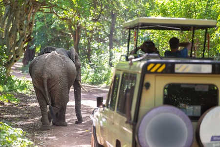 Wild african elephant beeing observed by tourist from open roof jeep on wildlife safari. Tanzania, Africa.