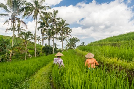 Female farmers working in beautiful Jatiluwih rice terrace plantations on Bali, Indonesia, south east Asia.