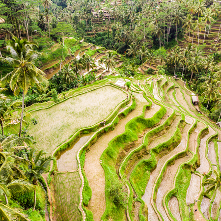 Drone view of Tegalalang rice terrace in Bali, Indonesia, with palm trees and paths for touristr to walk around plantations. Stok Fotoğraf
