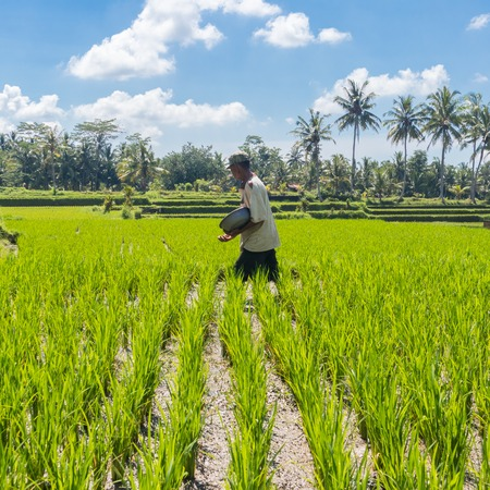 Unrecognizable male farmer working in beautiful rice terrace plantation near Ubud,Bali, Indonesia, south east Asia.