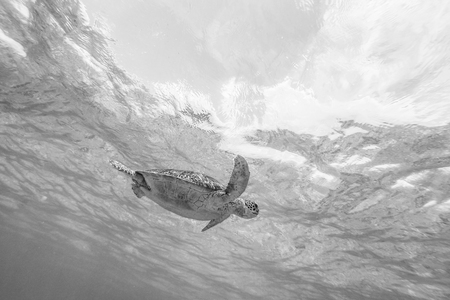 Sea turtle swimming freely in the blue ocean. Hawksbill sea turtle, Eretmochelys imbricata is endangered species. Black and white image.