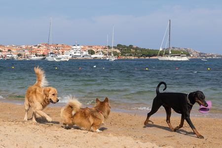 Group of dogs playing with flying disc on dogs friendly beach near Palau, Sardinia, Italy.