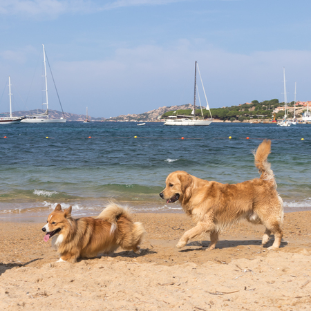 Group of dogs playing on dogs friendly beach near Palau, Sardinia, Italy.