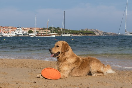 Golden retriever playing with flying disc on dogs friendly beach near Palau, Sardinia, Italy.