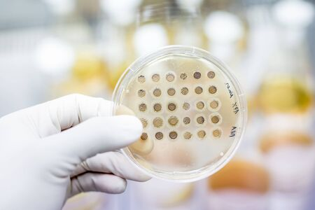 Scientist growing bacteria in petri dishes on agar gel as a part of scientific experiment