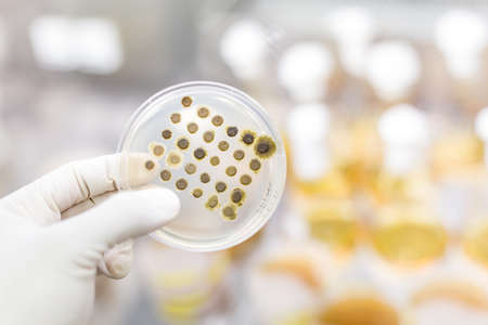 Scientist growing bacteria in petri dishes on agar gel as a part of scientific experiment. Corona virus pandemic concept. Development of virus treatment drug.