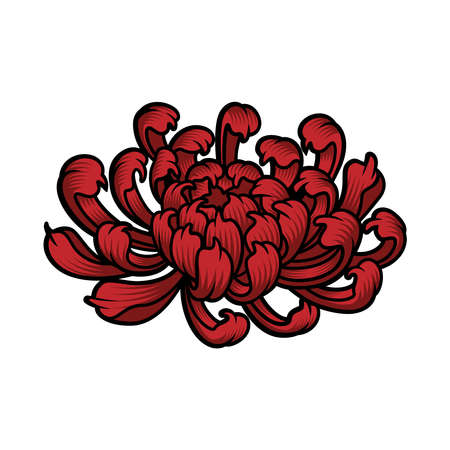 a vector illustration of a Japanese chrysanthemum flower on white background