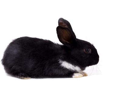 black small rabbit isolate, farm animal