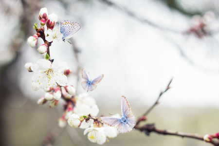 twig blossoming cherry twigs with blue butterflies, natural spring background, insect pollinates flowers