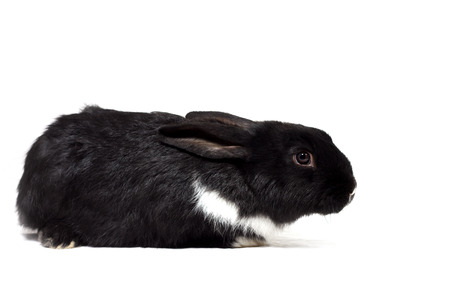 black small rabbit isolate, farm animal