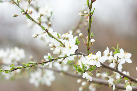 twig blossoming cherry twigs, natural spring background, sakura blossom