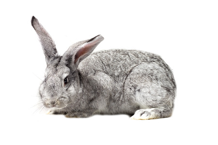 big gray rabbit, isolate, easter rabbit Stock Photo