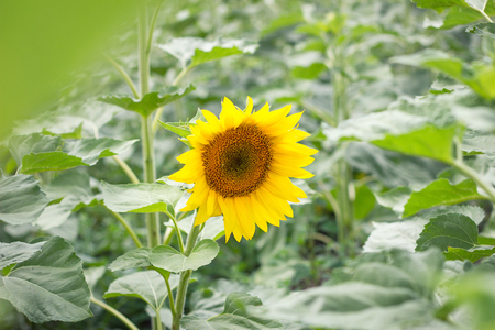 lonely sunflower in the field, the concept of farm development, not ripe sunflower