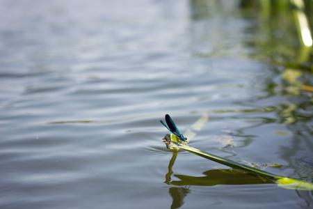 dragonfly over water, wildlife fauna Archivio Fotografico