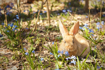 Brown fluffy Bunny in a meadow of blue flowers.A small decorative rabbit goes on green grass outdoors. Cute brown Bunny in the meadow.Brown rabbit walks through the meadow of spring flowers  snowdrops