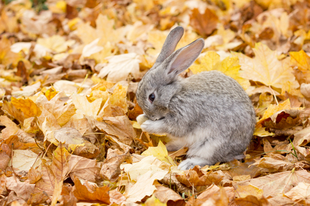 a grey rabbit in yellow leaves fall. Autumn landscape. grey fluffy rabbit