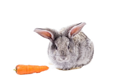 beautiful fluffy rabbit with a carrot, isolate, Easter gray rabbit Reklamní fotografie