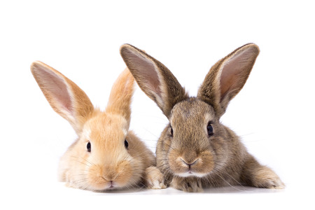 two fluffy bunnies look at the signboard. Isolated on white background Easter Bunny. Red and gray rabbit peeking. Rabbit ears
