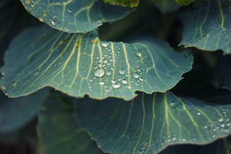 Droplets of dew on a cabbage Stok Fotoğraf