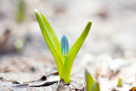 blue snowdrops, the first flower of spring, blue wildflowers in the forest