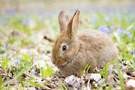 Wildhase auf einer blühenden Wiese im Frühjahr. Osterhase im blühenden Wald. Frühlingskonzept für die Feiertage. Standard-Bild