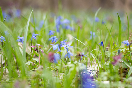 a glade of blue flowers, a glade of spring fragile flowers, the first flowers of spring Stock Photo