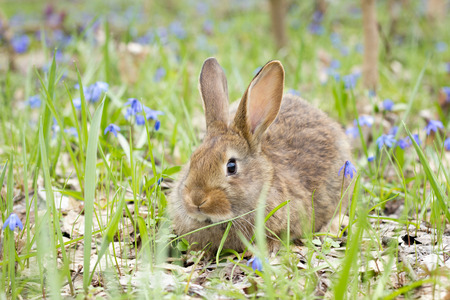 wild hare on a flowering meadow in spring. Easter Bunny in the flowering forest. Spring concept for the holidays.