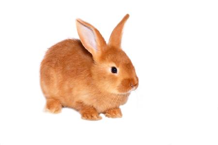 Conejo salvaje rojo sobre fondo blanco. Foto de archivo