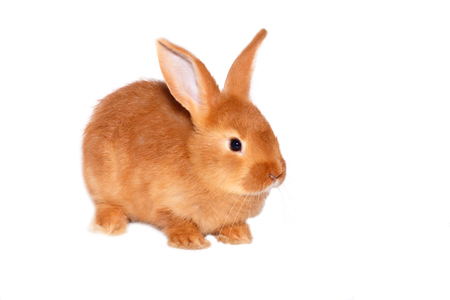 rood wild konijn op witte achtergrond Stockfoto