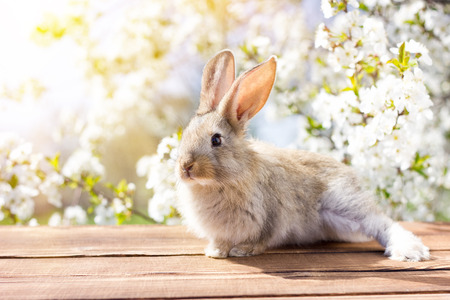 A little hare sits on a wooden table against the background of a blossoming tree. Spring Hare. Easter bunny