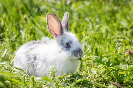 Little white fluffy rabbit on green grass. Wild hare on a green meadow. Concept for the spring holidays