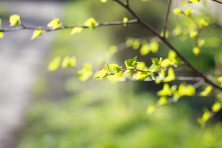 young twigs with leaves. young shoots of birch in the spring. small green leaves Imagens