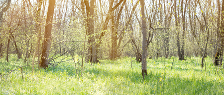 panorama of spring forest. Young green forest. Spring forest