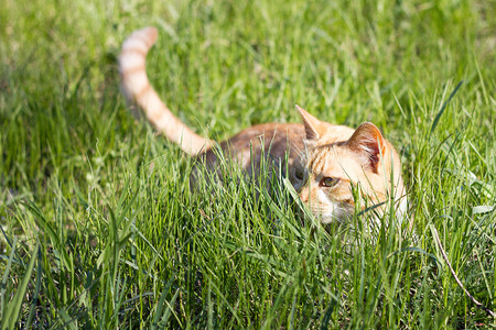 red cat in the green grass. Playful home cat on a green meadow in spring. Young red cat