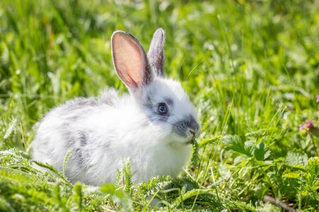 Little white fluffy rabbit on a green meadow. Cute bunny on the green grass. Playing hare