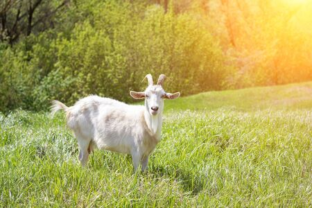 White goat on a green meadow. Walking agriculture. Pets