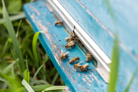 Bees fly out of evidence. Bees collect nectar . Bee breeding 版權商用圖片