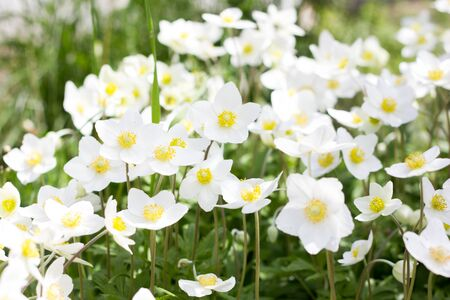 glade of white flowers. Spring flowers . Field perennial white flowers.