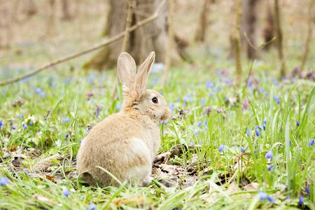 Easter Bunny on a flowering meadow. Hare in a clearing of blue flowers. Stockfoto