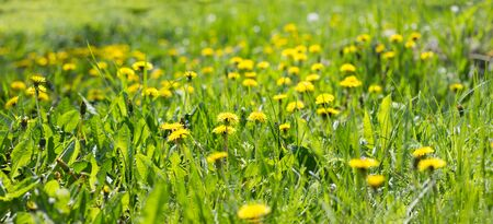 Panorama of the field of yellow dandelions. Yellow wildflowers. Seasonal dandelions, spring season.