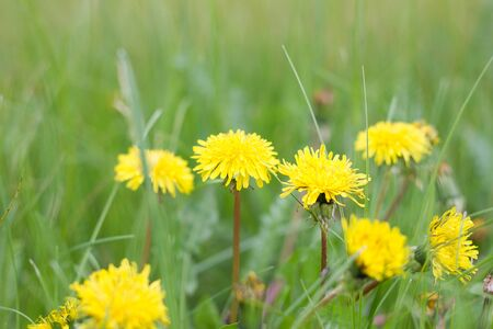 lonely dandelions on green grass close up. Spring season. Green meadow. Stockfoto