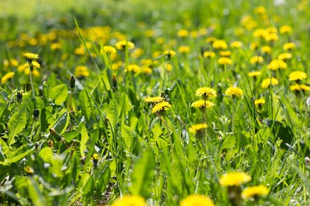 Field of yellow dandelions close-up. Yellow wildflowers. Seasonal dandelions, spring season. Stockfoto