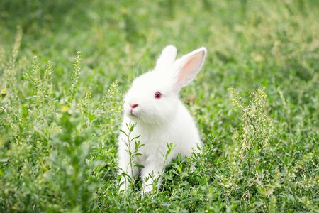 cute white rabbit in green grass