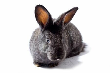 small fluffy grey rabbit isolated on white background, Easter Bunny. Hare for Easter close-up on a white background. an eared hare. Zdjęcie Seryjne