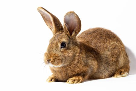 small fluffy red rabbit isolated on white background. Hare for Easter close-up. Red live rabbit on a white background, to the hare for spring holidays